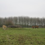 060112-hsc-cattle-near-the-bunker-closest-to-oakington-church-by-hilary-stroude